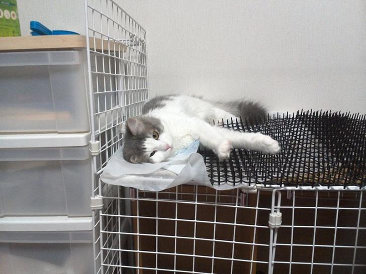 Người Nhật mua bẫy gai để ngăn mèo chạy nhảy lung tung, kết quả khiến ai cũng dở khóc dở cười - Ảnh 12.