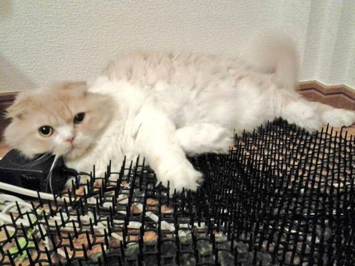 Người Nhật mua bẫy gai để ngăn mèo chạy nhảy lung tung, kết quả khiến ai cũng dở khóc dở cười - Ảnh 14.
