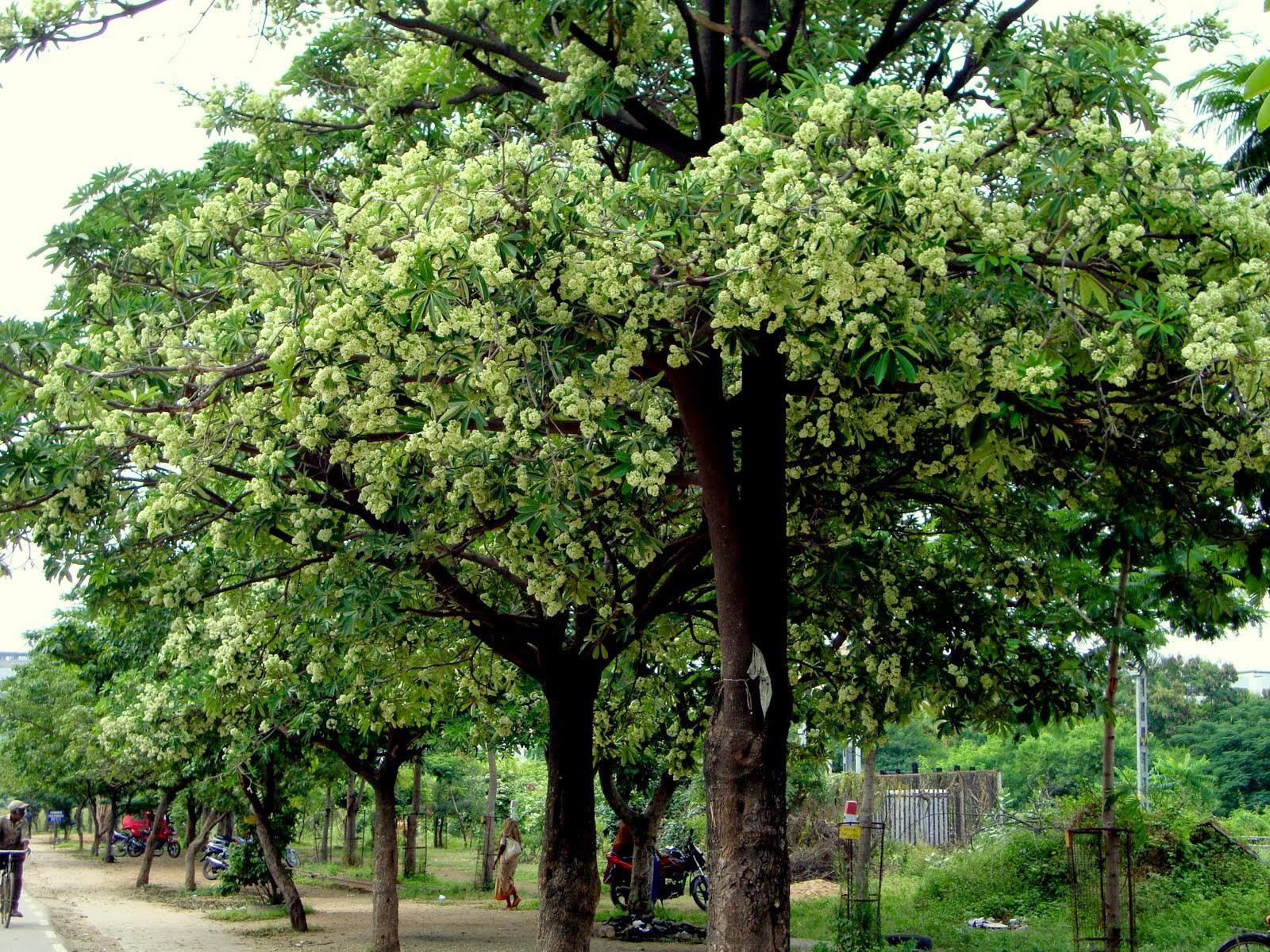 Không chỉ ở Việt Nam mà hoa sữa còn là loài hoa mâu thuẫn nổi tiếng xuyên lục địa - Ảnh 4.