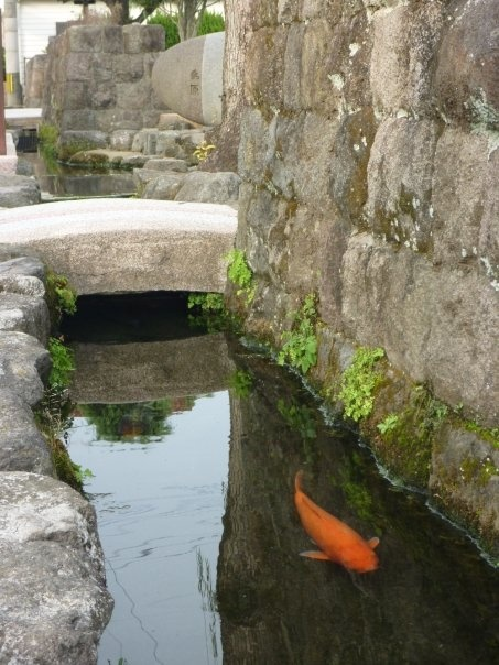 Không thể tin được, đàn cá chép lại có thể sinh sống trong một rãnh nước thải tại Nhật Bản! - Ảnh 4.