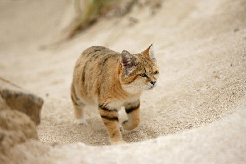 Giống mèo mini mới được ghi hình lần đầu tiên tại sa mạc - Ảnh 15.