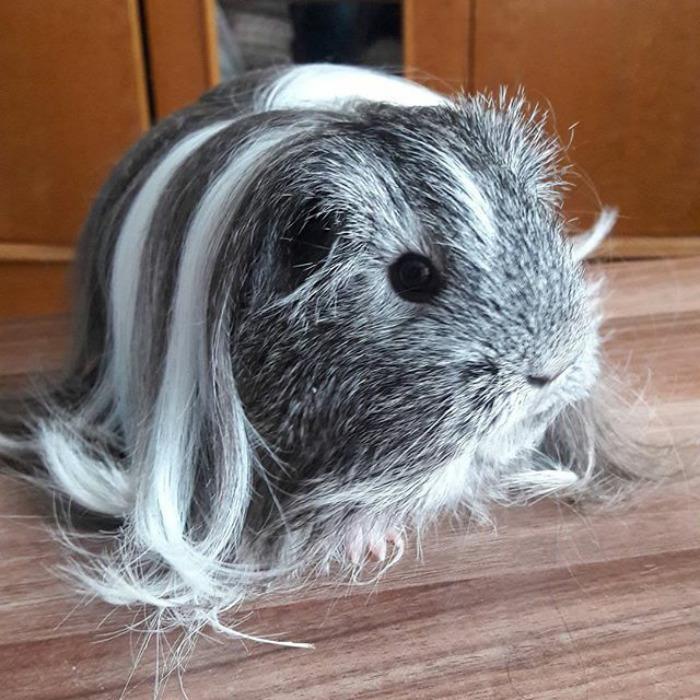 Ngắm 10 bé chuột lang sở hữu mái tóc mượt mà như quảng cáo dầu gội - Ảnh 15.