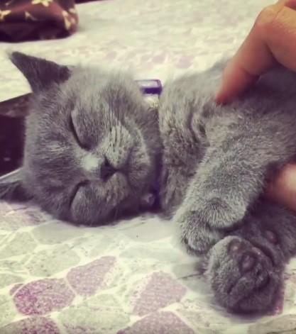 Chú mèo Anh lông ngắn chỉ thức khi có thức ăn được dân tình thả tim nhiệt liệt vì độ lười - Ảnh 2.