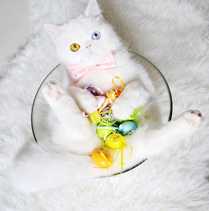 Chú mèo xinh đẹp sở hữu đôi mắt hai màu lấp lánh tựa pha lê - Ảnh 11.