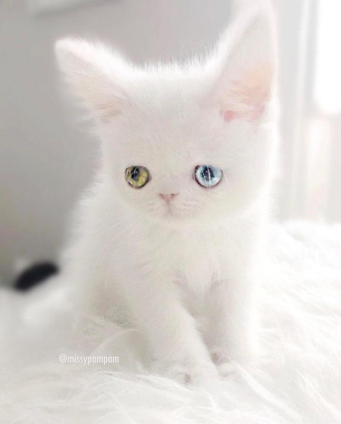 Chú mèo xinh đẹp sở hữu đôi mắt hai màu lấp lánh tựa pha lê - Ảnh 3.