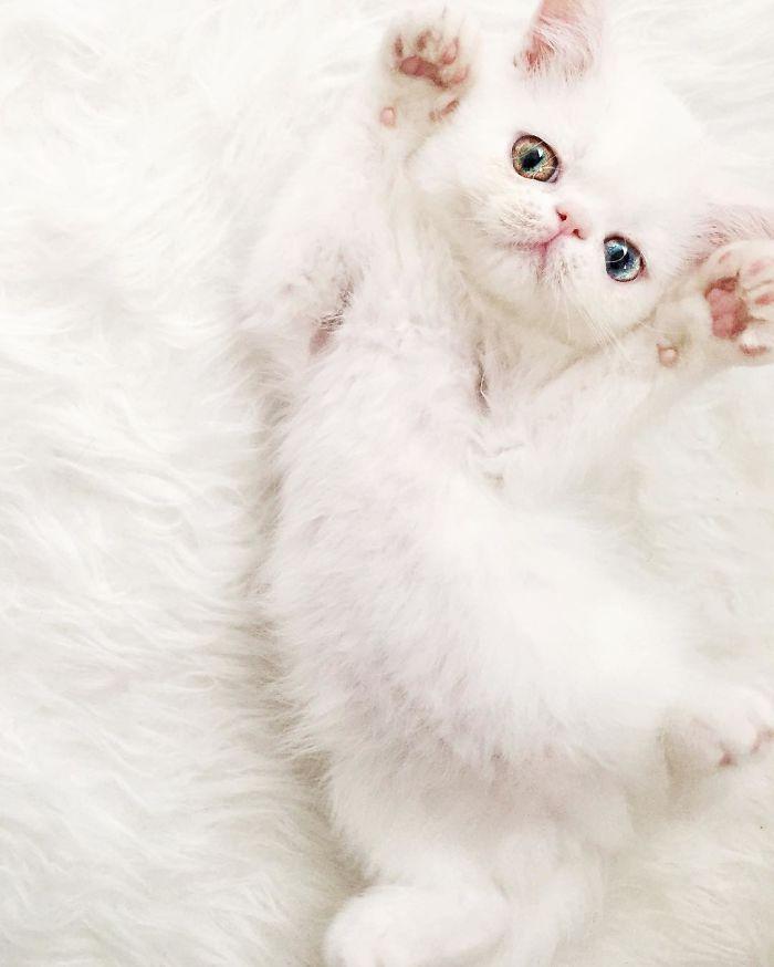 Chú mèo xinh đẹp sở hữu đôi mắt hai màu lấp lánh tựa pha lê - Ảnh 5.