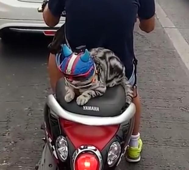 Chú mèo đội mũ bảo hiểm khi đi xe máy cực nghiêm chỉnh - Ảnh 3.