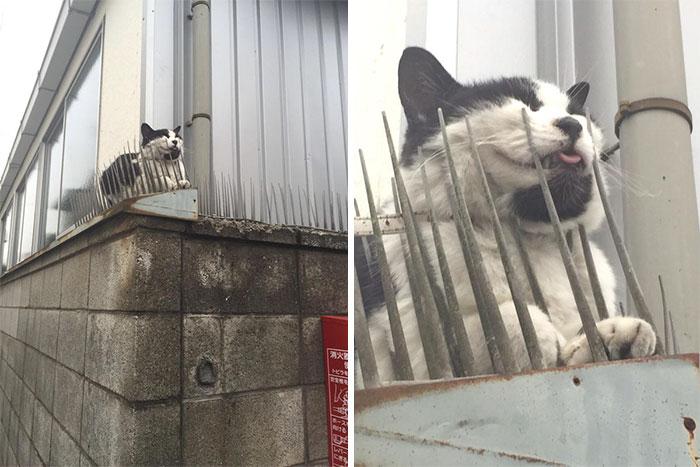 Người Nhật mua bẫy gai để ngăn mèo chạy nhảy lung tung, kết quả khiến ai cũng dở khóc dở cười - Ảnh 6.