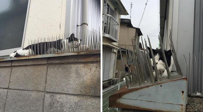Người Nhật mua bẫy gai để ngăn mèo chạy nhảy lung tung, kết quả khiến ai cũng dở khóc dở cười - Ảnh 2.