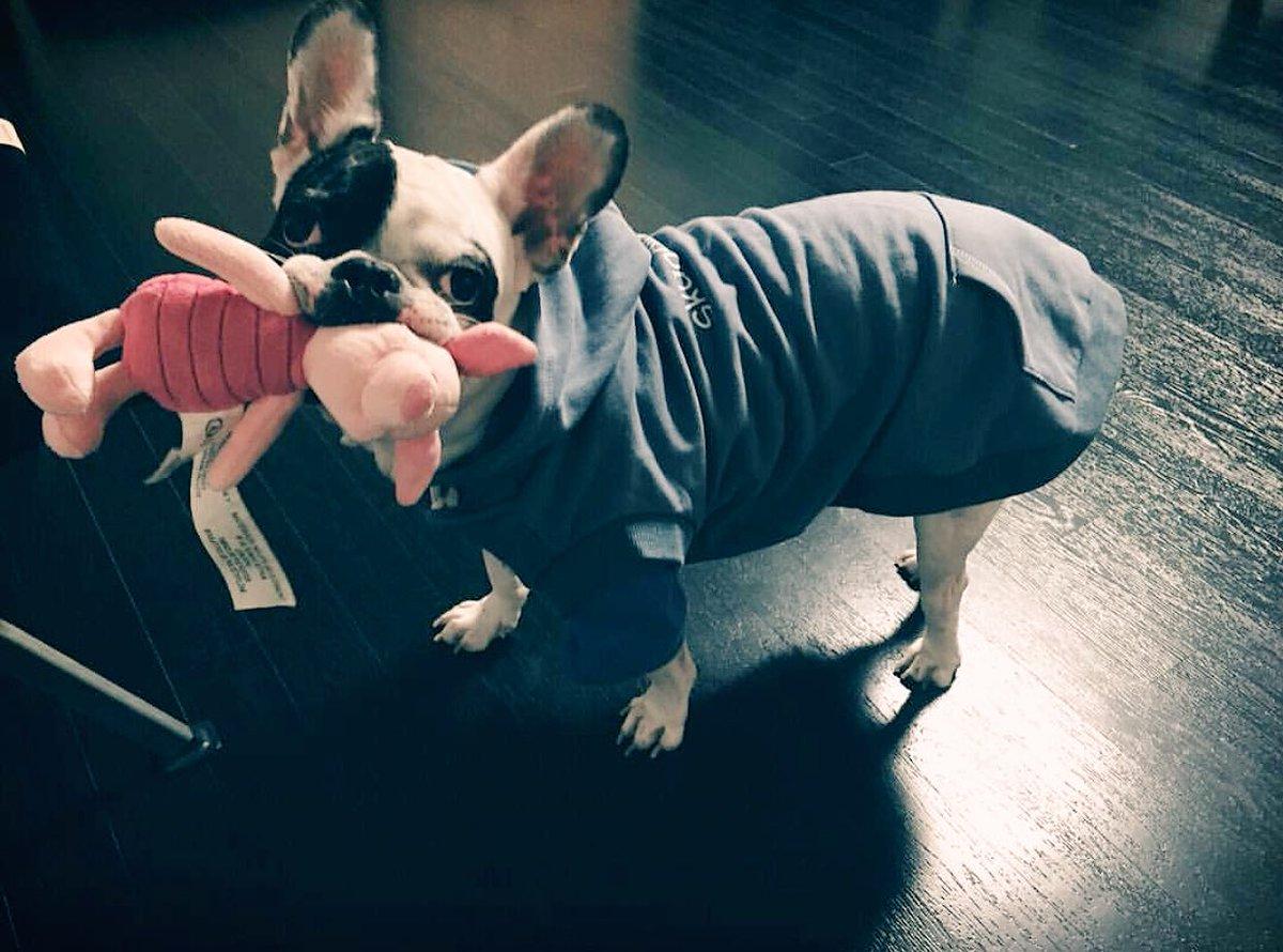 Chú Bull Pháp của Choi Siwon nuôi là giống chó như thế nào? - Ảnh 2.
