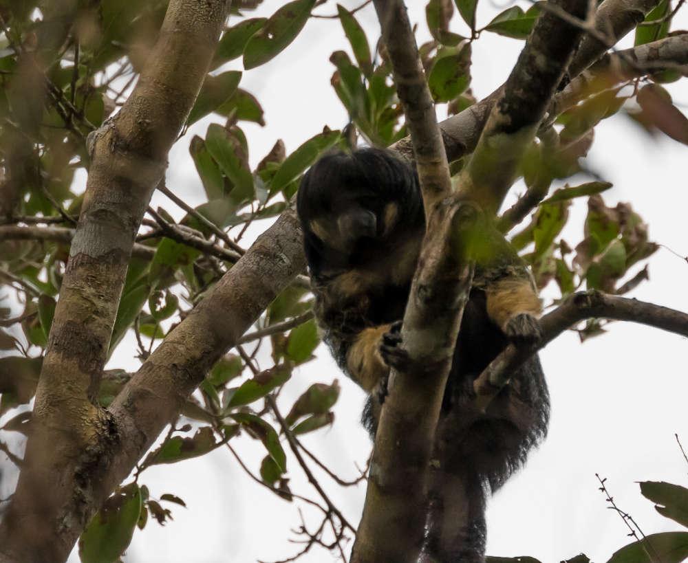 Một trong những loài vật bí ẩn nhất rừng Amazon lần đầu tiên được lên ảnh - Ảnh 2.