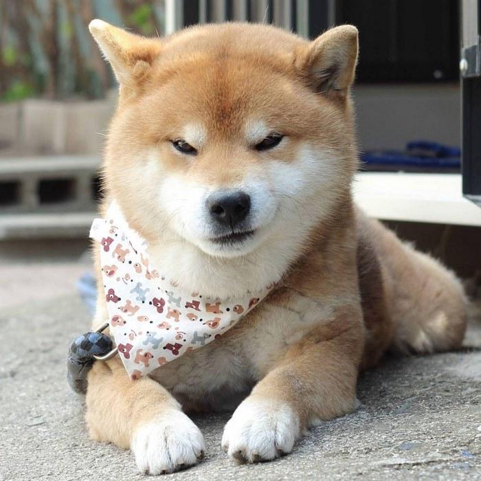 Gặp gỡ chú chó shiba có bộ mặt diễn sâu nhất quả đất - Ảnh 15.