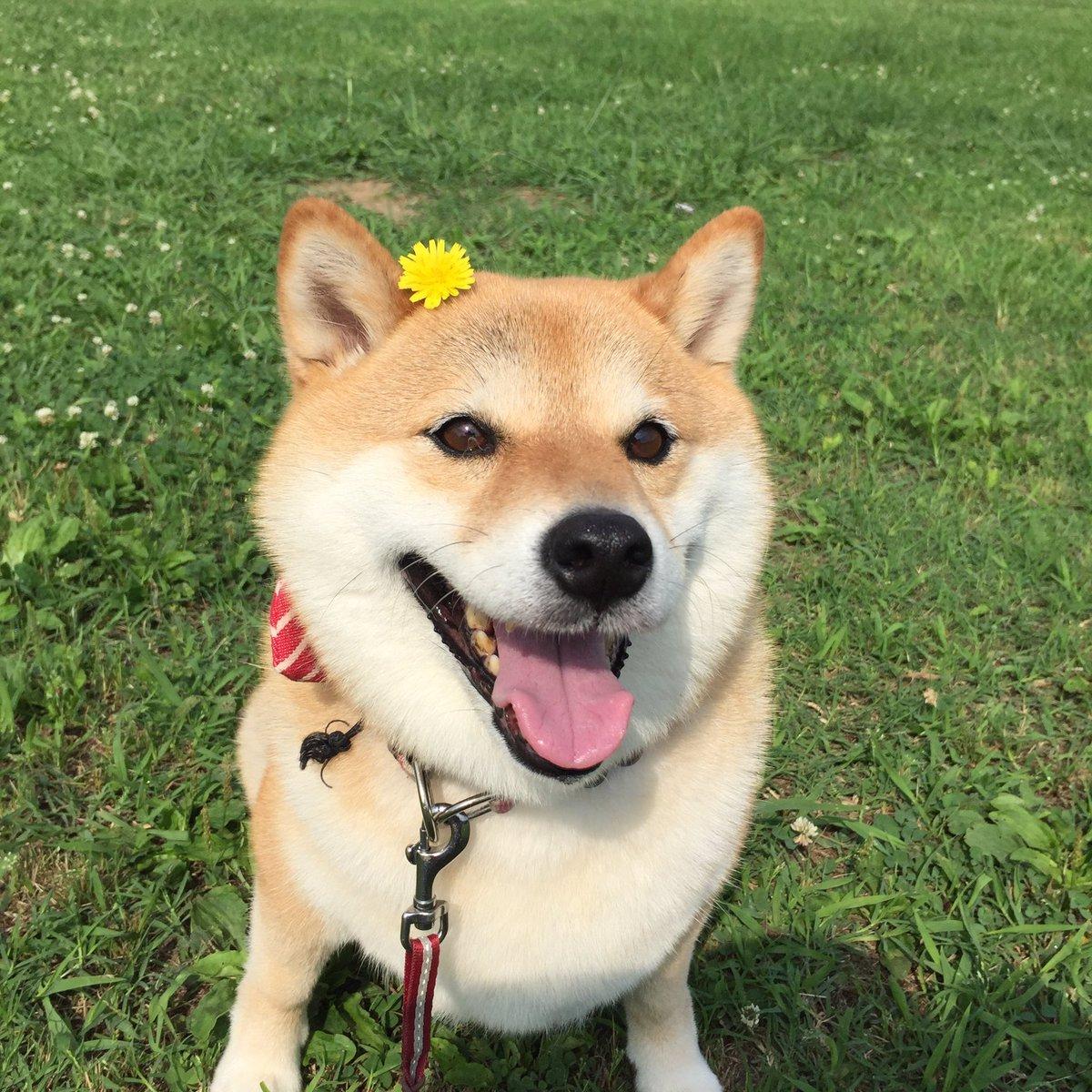 Nàng cún Shiba lầy lội: đã ra đường là không bao giờ chịu về nhà - Ảnh 3.