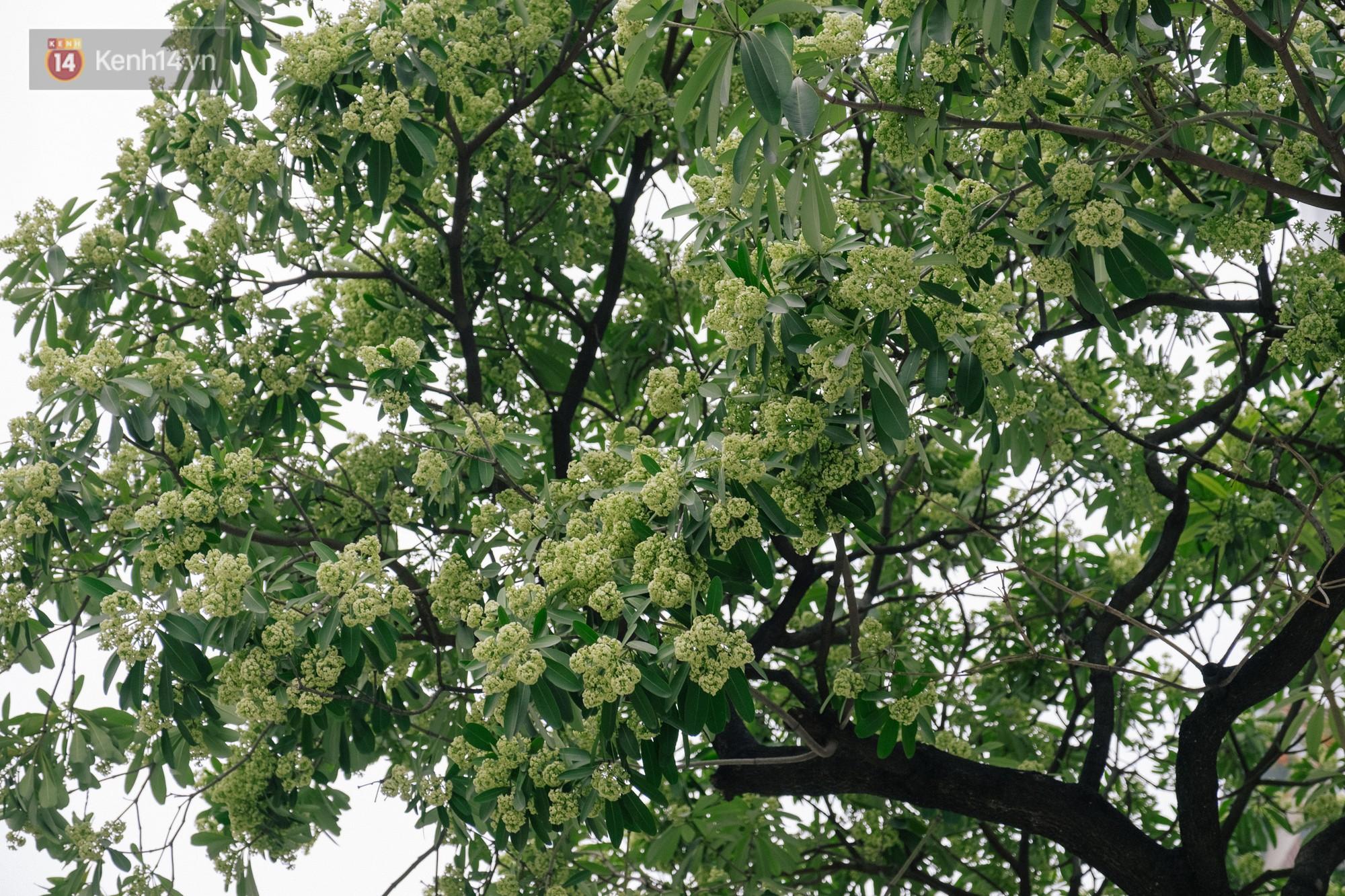 Khi mùa hoa sữa về thơm từng cơn gió trở thành nỗi ám ảnh với người dân Thủ Đô - Ảnh 2.