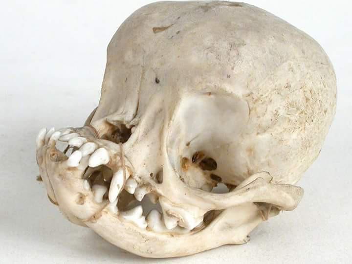 Hộp sọ bị biến dạng và thảm họa giải phẫu của loài chó pug chỉ vì con người - Ảnh 1.