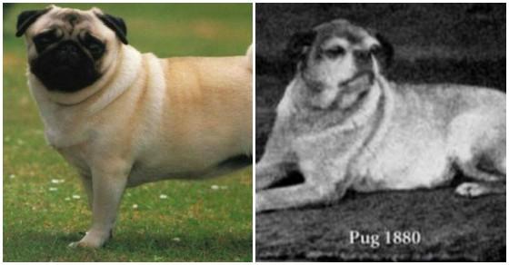 Hộp sọ bị biến dạng và thảm họa giải phẫu của loài chó pug chỉ vì con người - Ảnh 5.