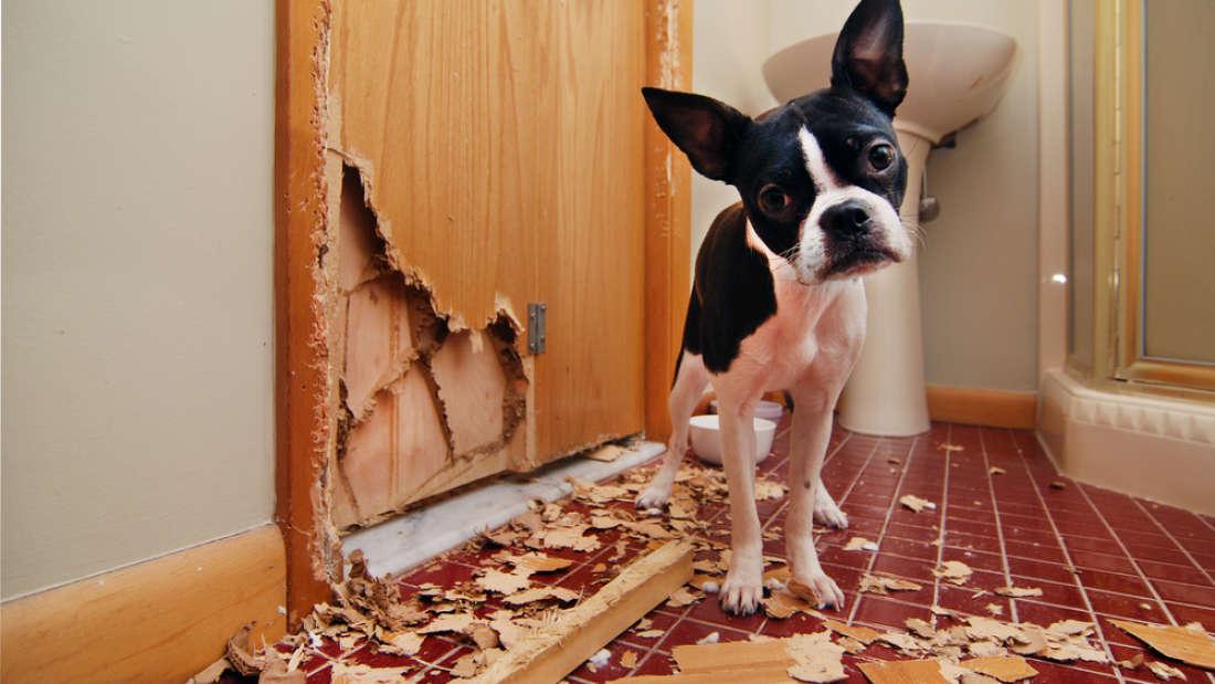 Đây là lý do chó nhà bạn chưng ra bộ mặt này sau mỗi lần phá phách - Ảnh 1.