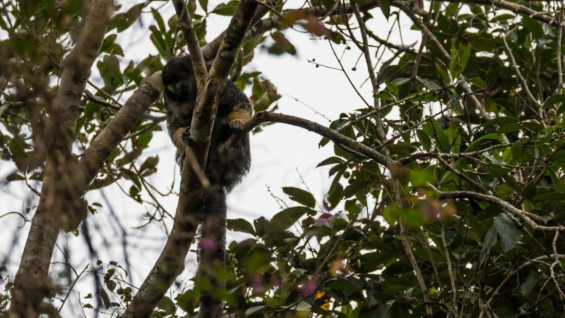 Một trong những loài vật bí ẩn nhất rừng Amazon lần đầu tiên được lên ảnh - Ảnh 1.