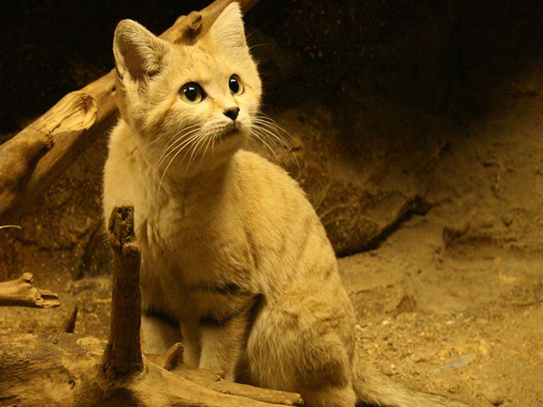 Giống mèo mini mới được ghi hình lần đầu tiên tại sa mạc - Ảnh 17.