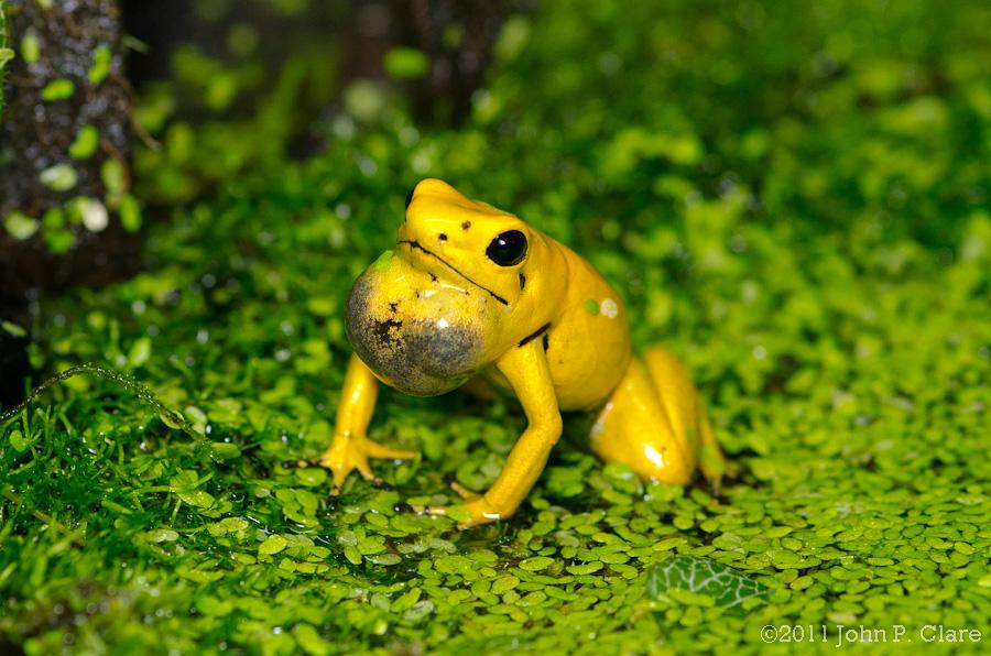 Con ếch độc bậc nhất thế giới và bí ẩn đằng sau nó cuối cùng đã được khoa học giải đáp - Ảnh 1.