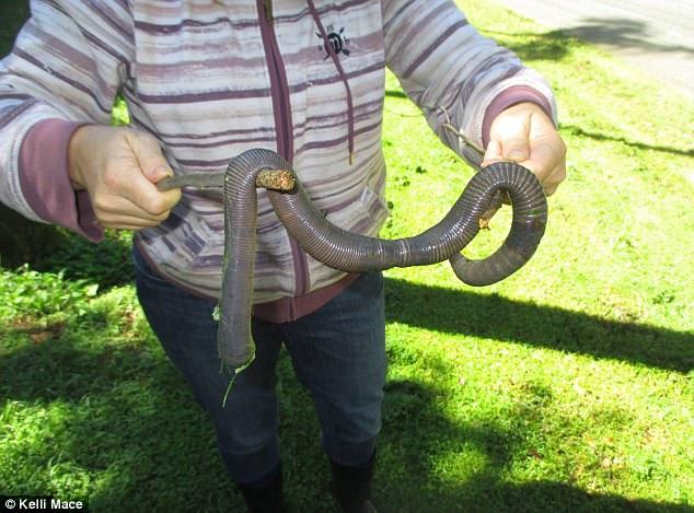 Mưa lớn ở Úc làm lộ diện loài giun đất khổng lồ ai xem qua cũng ngỡ là rắn - Ảnh 1.