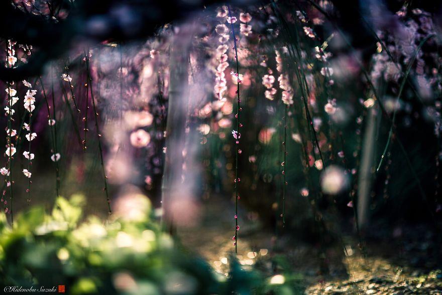 Nhật Bản vào mùa hoa mận nở trở nên đẹp đến nao lòng - Ảnh 1.