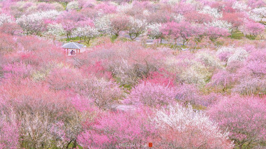 Nhật Bản vào mùa hoa mận nở trở nên đẹp đến nao lòng - Ảnh 3.