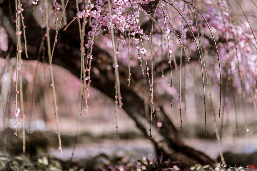 Nhật Bản vào mùa hoa mận nở trở nên đẹp đến nao lòng - Ảnh 9.