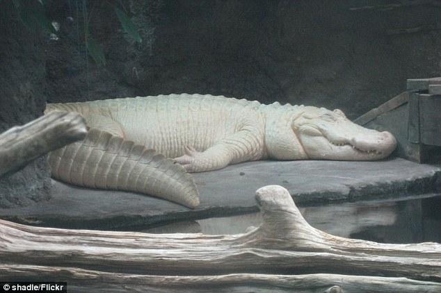 Cá sấu trắng nghi được dùng để làm túi Hermès Birkin quý hiếm đến độ nào? - Ảnh 5.