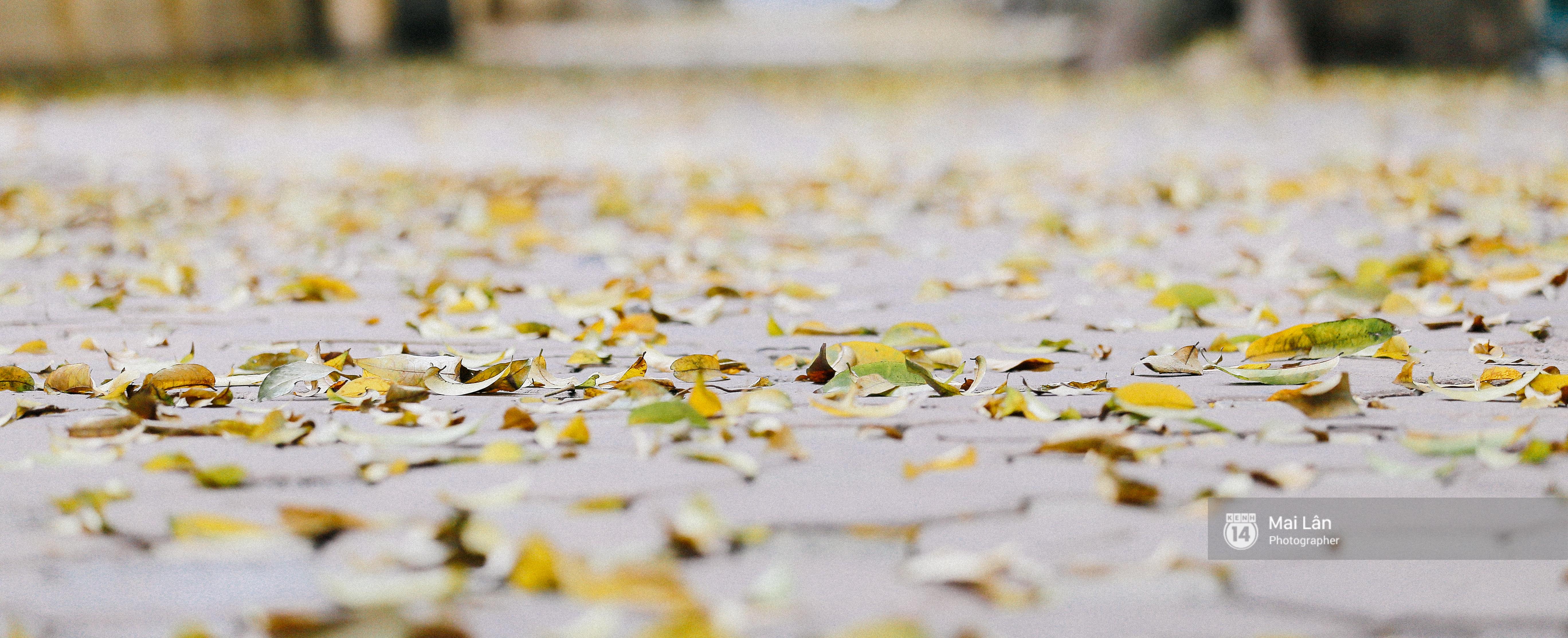 Những ngày Hà Nội rất nóng, nhưng lòng dịu lại vì cảnh lá rụng đẹp như mùa thu thứ 2 - Ảnh 12.