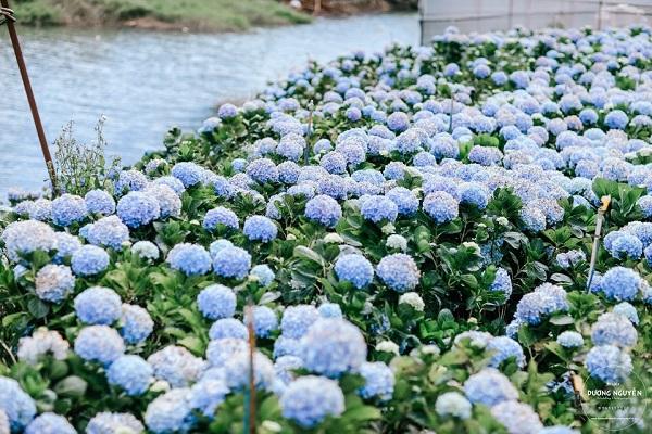 Cánh đồng hoa cẩm tú cầu đẹp mê hồn sẽ là điểm đến hot nhất ở Đà Lạt những ngày tới! - Ảnh 1.