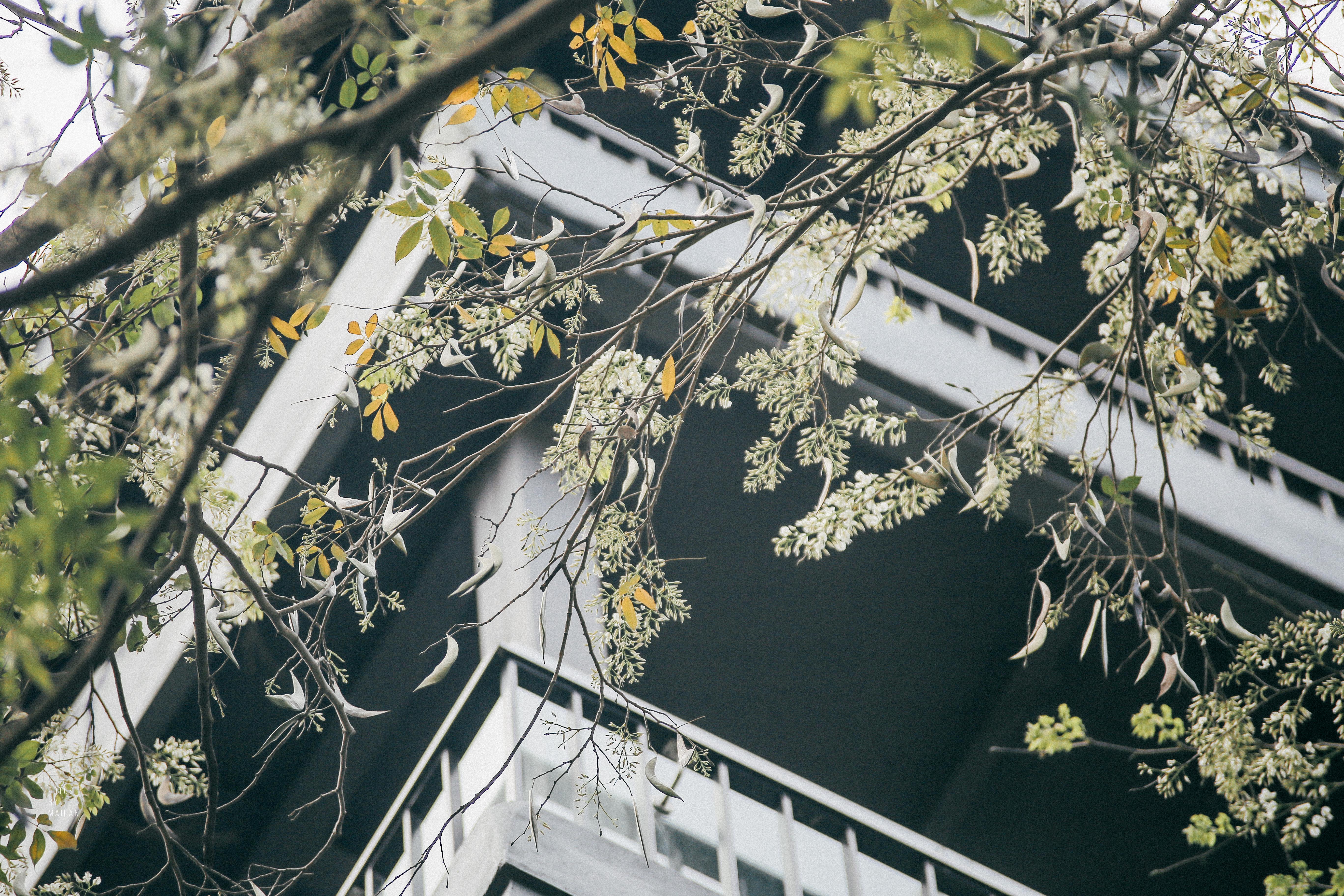 Hoa sưa nở rồi, tiết trời nồm ẩm tháng 3 của Hà Nội cũng vì thế mà dịu dàng hơn... - Ảnh 2.