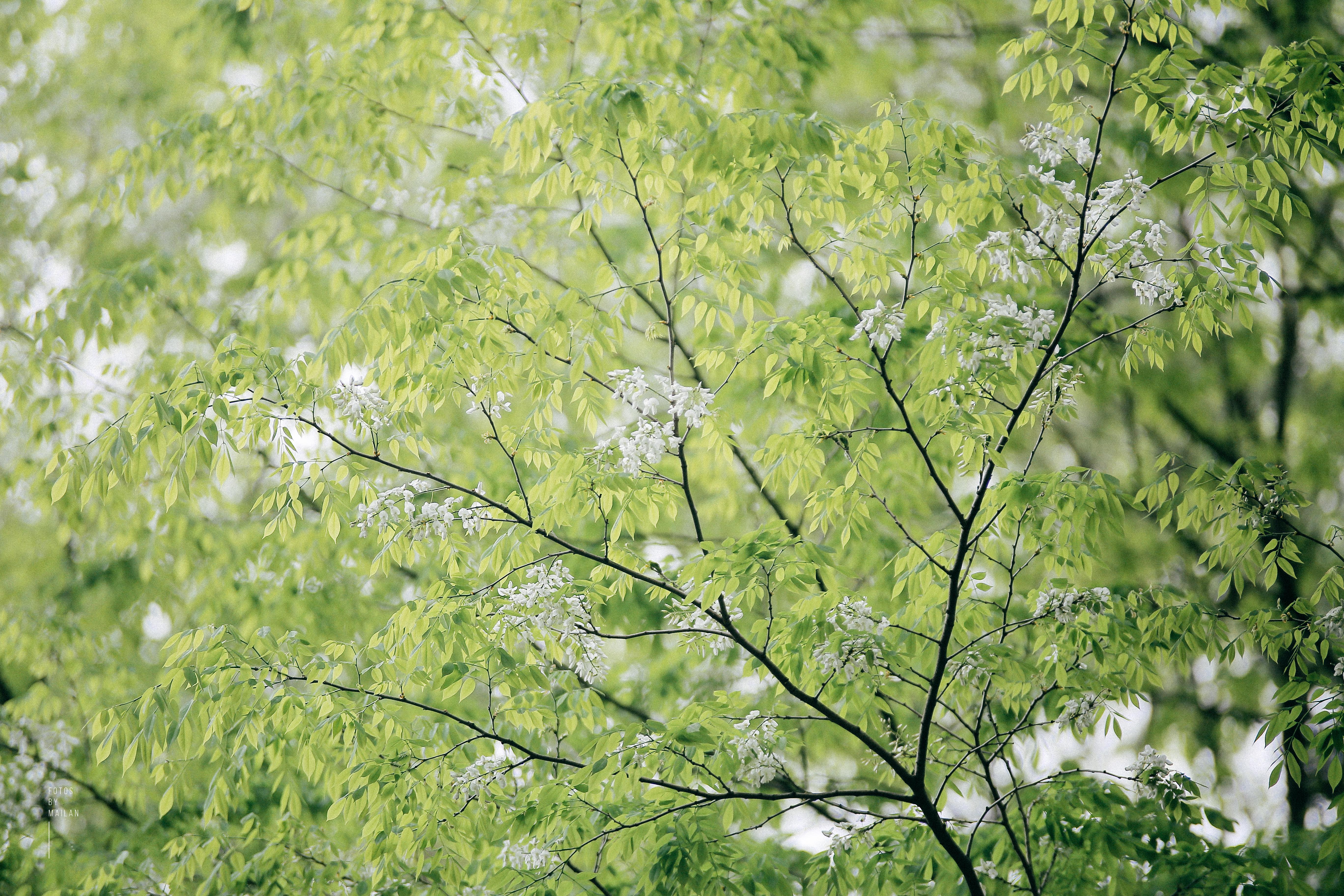 Hoa sưa nở rồi, tiết trời nồm ẩm tháng 3 của Hà Nội cũng vì thế mà dịu dàng hơn... - Ảnh 7.
