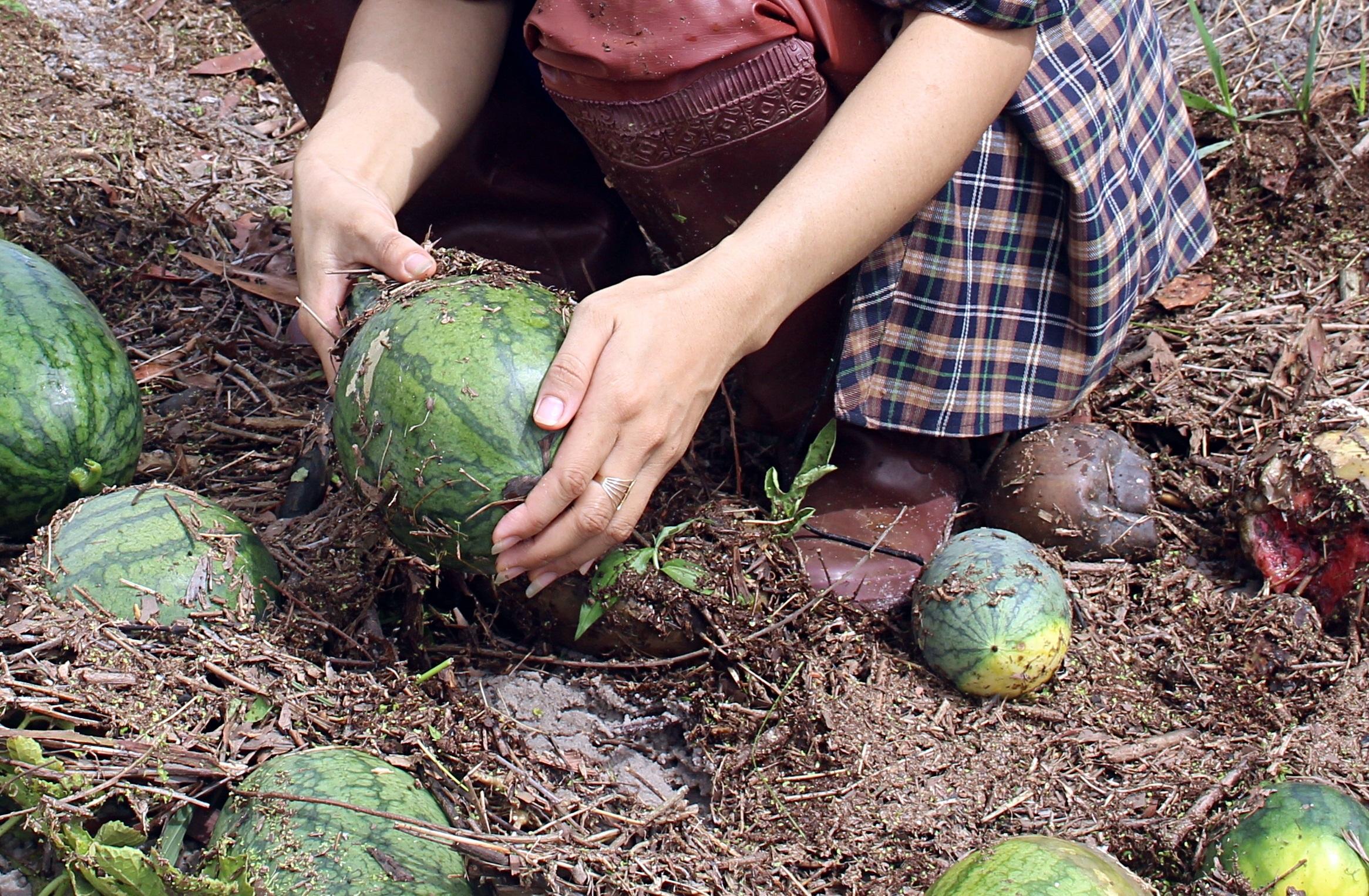 Trắng tay sau cơn bão số 4, hàng trăm nông dân ở Quảng Trị đổ dưa hấu cho gà vịt ăn - Ảnh 10.