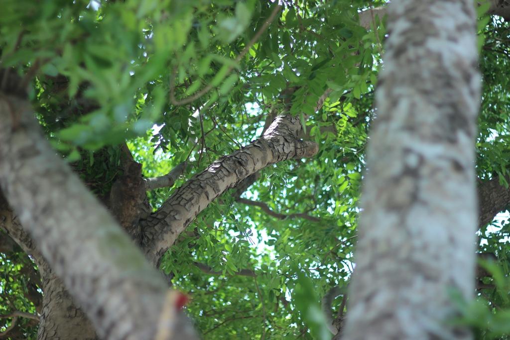Hà Nội: Nhìn lại 1.300 cây xanh trên đường Phạm Văn Đồng sẽ bị chặt hạ trong 3 tháng tới - Ảnh 8.