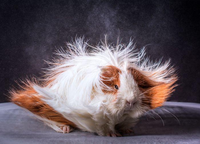Ngắm 10 bé chuột lang sở hữu mái tóc mượt mà như quảng cáo dầu gội - Ảnh 13.