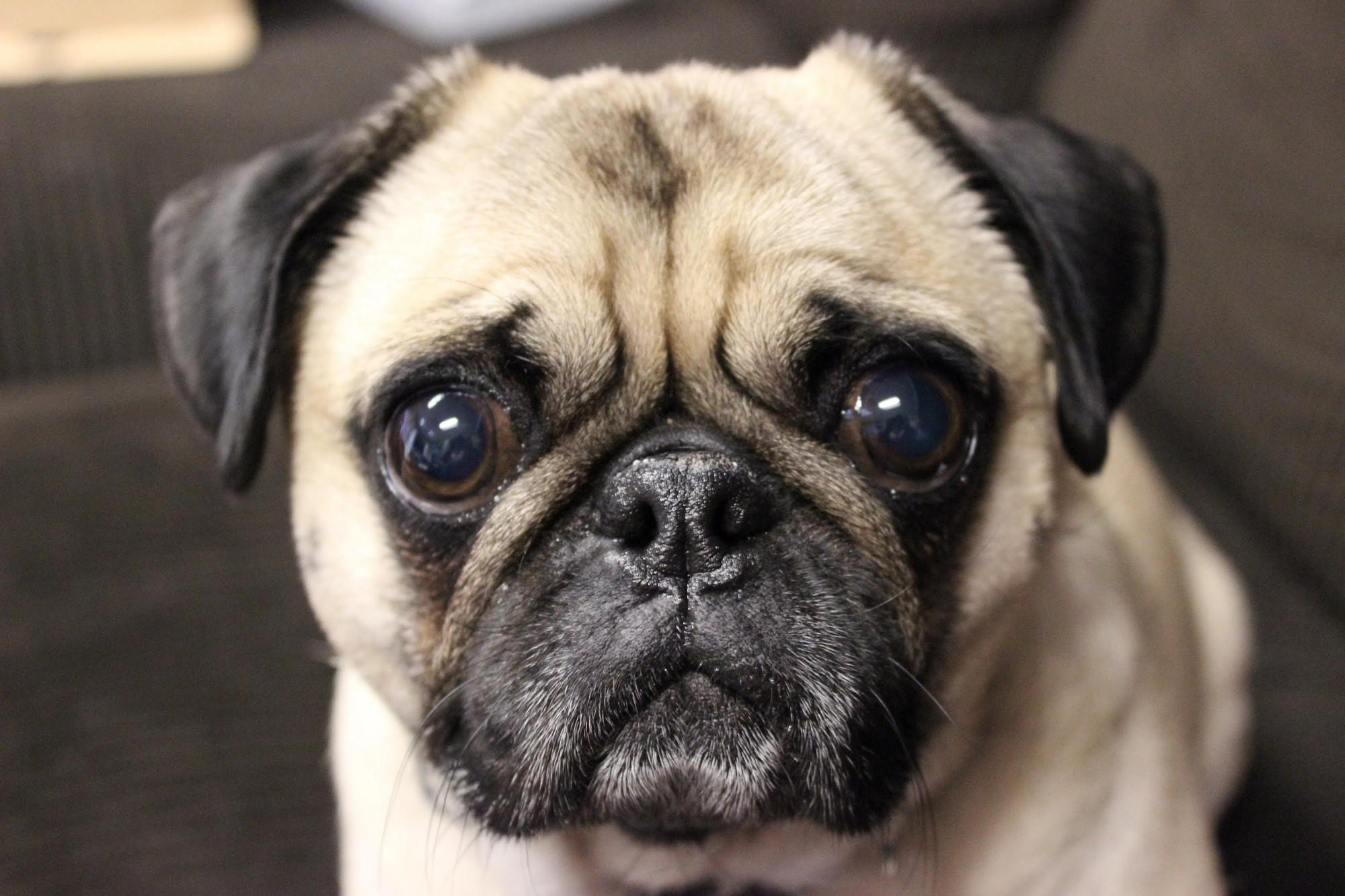 Hộp sọ bị biến dạng và thảm họa giải phẫu của loài chó pug chỉ vì con người - Ảnh 2.