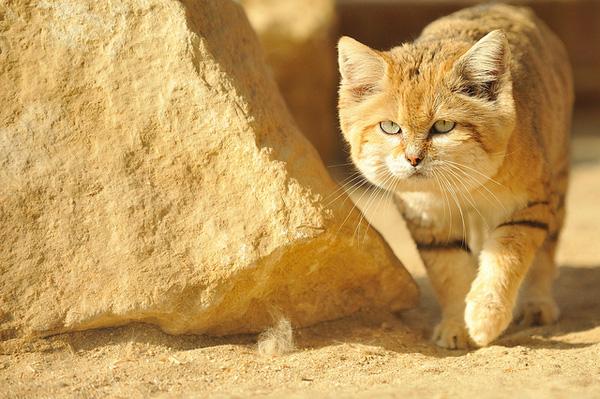 Giống mèo mini mới được ghi hình lần đầu tiên tại sa mạc - Ảnh 1.