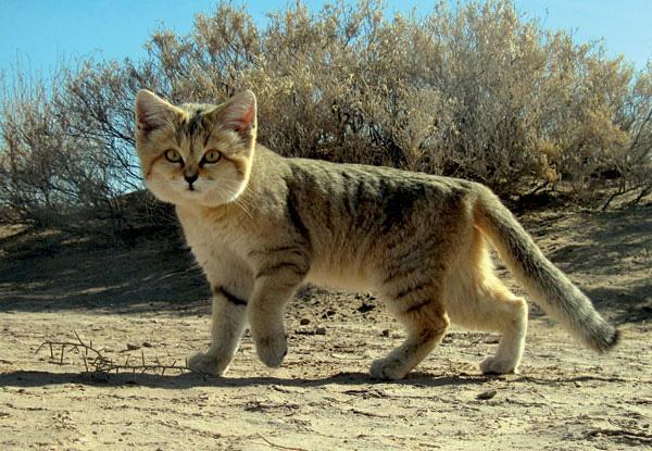 Giống mèo mini mới được ghi hình lần đầu tiên tại sa mạc - Ảnh 3.