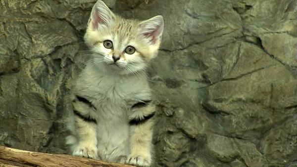 Giống mèo mini mới được ghi hình lần đầu tiên tại sa mạc - Ảnh 13.