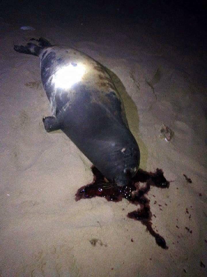 Hải cẩu bị đánh chết và nỗi oan của người dân Phan Rí Cửa - Ảnh 1.