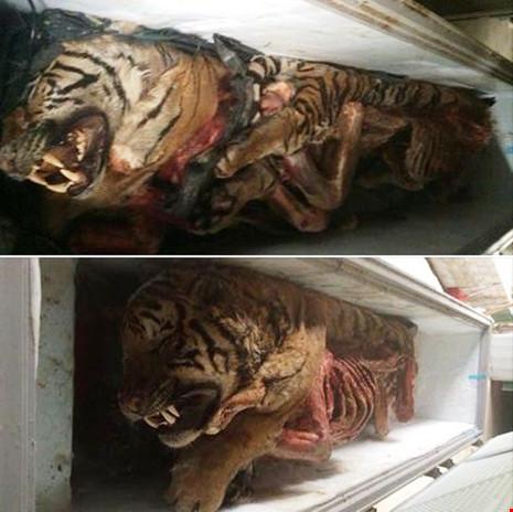Phát hiện 5 con hổ vằn Đông Dương trong... tủ lạnh - Ảnh 1.