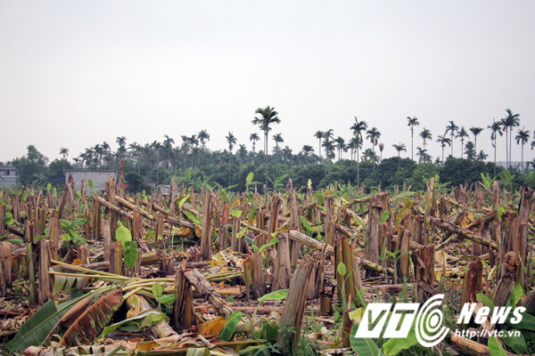 Chủ vườn phẫn uất nhìn vườn chuối hàng nghìn cây bị côn đồ đất Cảng chém gục trong đêm - Ảnh 3.