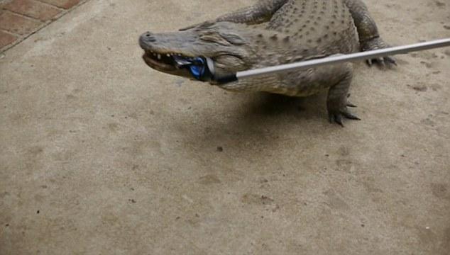 Thử nghiệm điên rồ: Cho cá sấu nhai iPhone 7! - Ảnh 2.