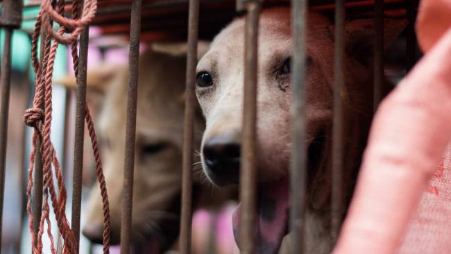Khách du lịch Úc phẫn nộ vì bị lừa ăn thịt chó, trá hình thịt gà xiên trên đảo Bali - Ảnh 1.