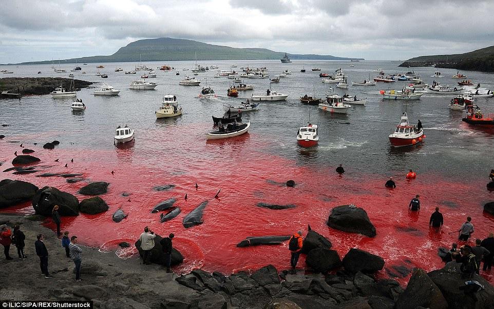 Hình ảnh bờ biển Đan Mạch nhuốm đỏ màu máu trong vụ thảm sát cá voi gây phẫn nộ trên toàn thế giới - Ảnh 1.