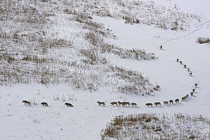 Sự thật đằng sau bức ảnh đàn sói đầy nhân văn đang gây bão cộng đồng mạng - Ảnh 2.