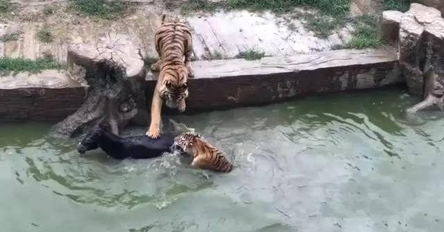 Cái kết bất ngờ của con lừa bị ném thẳng vào chuồng cọp tại sở thú Trung Quốc - Ảnh 2.