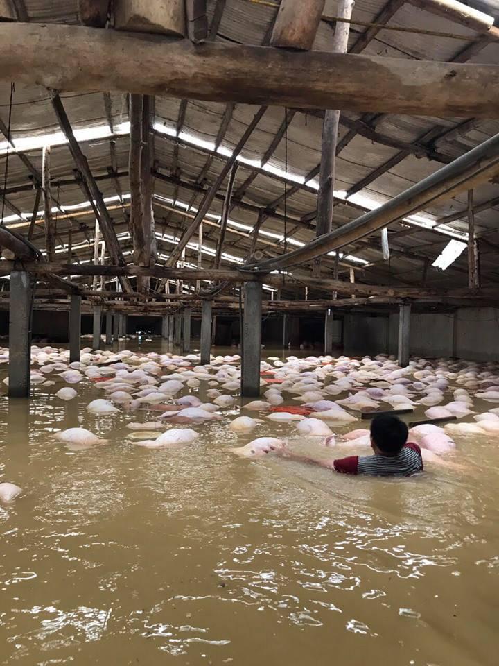 Xót xa hình ảnh hàng ngàn con lợn chăn nuôi chết trong nước lũ ở Thanh Hoá - Ảnh 3.