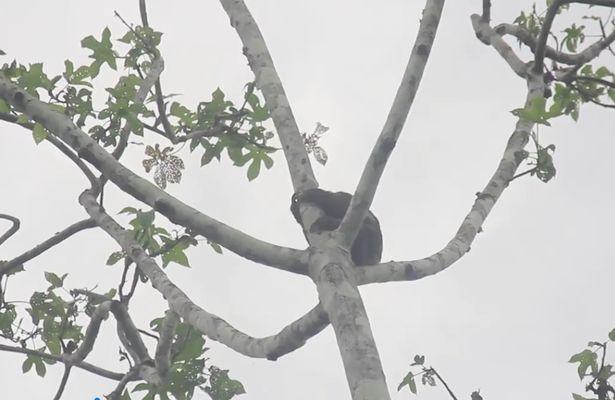Chú lười sống trên cao chót vót trong rừng tại Peru.